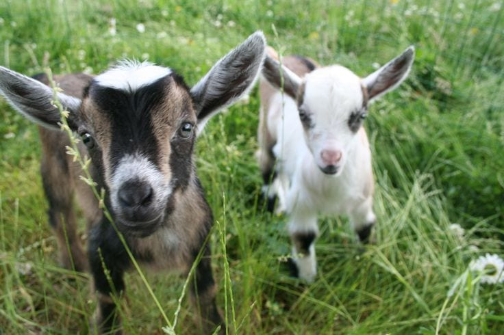 backyard goats
