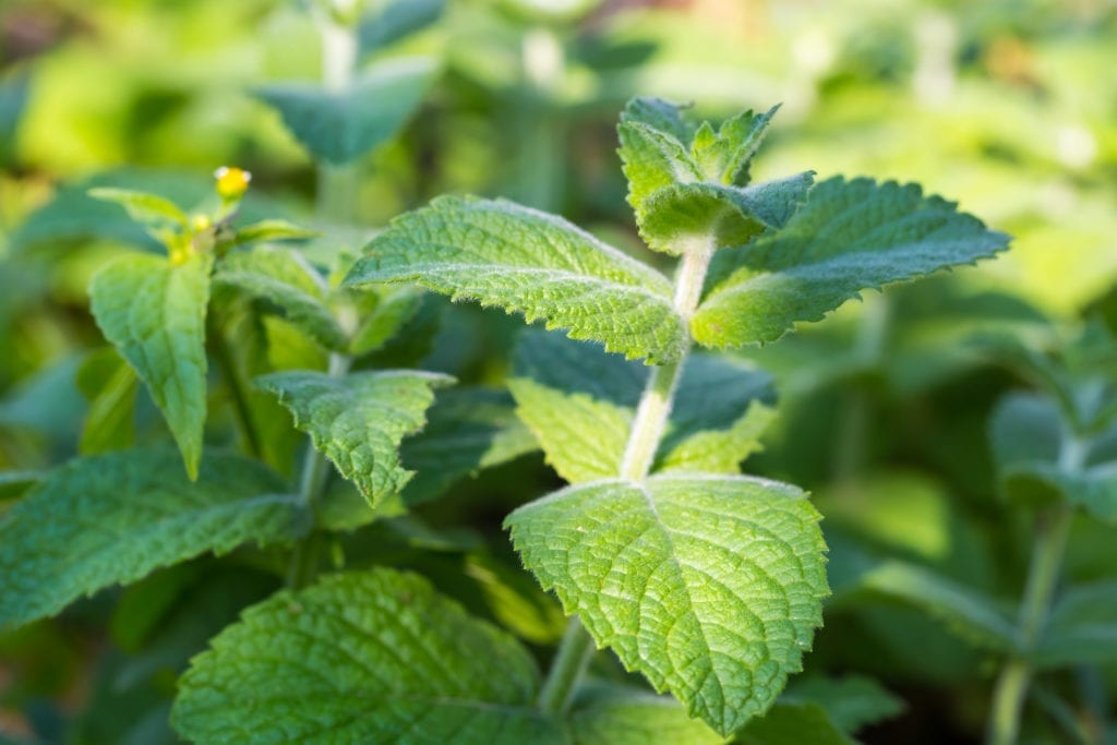 peppermint for spiders
