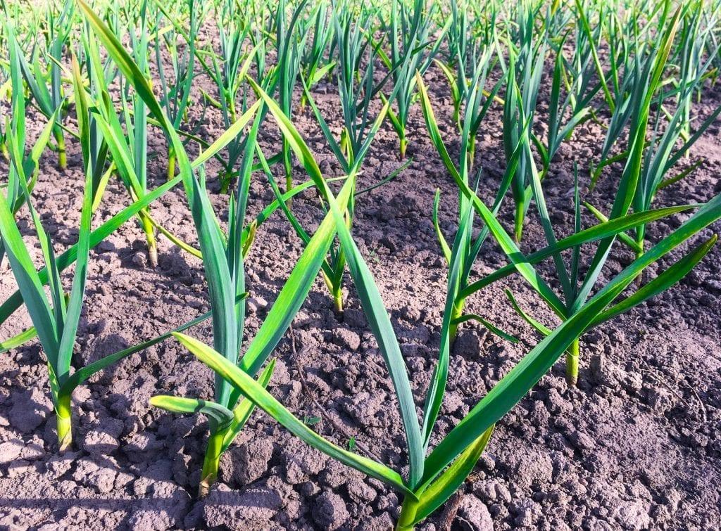 grow garlic from scraps