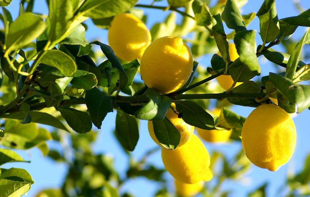 grow lemon tree