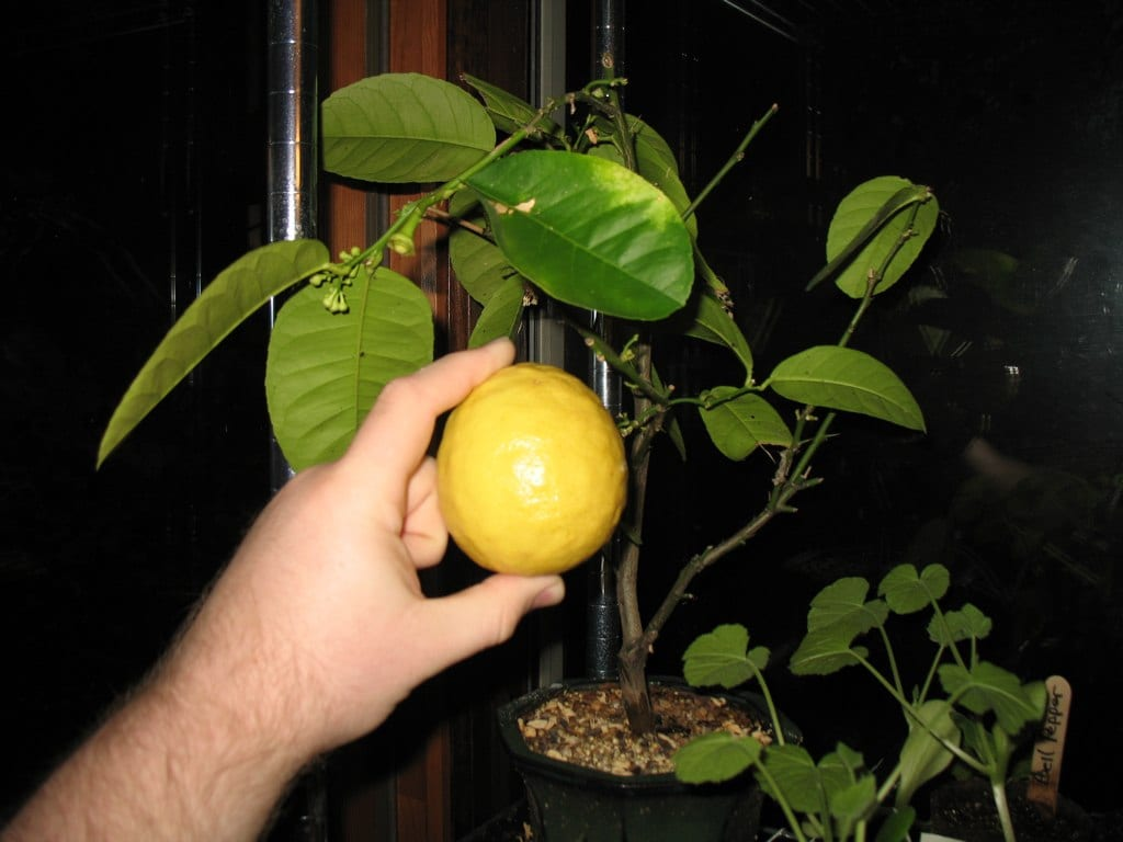 regrow lemon tree from seed