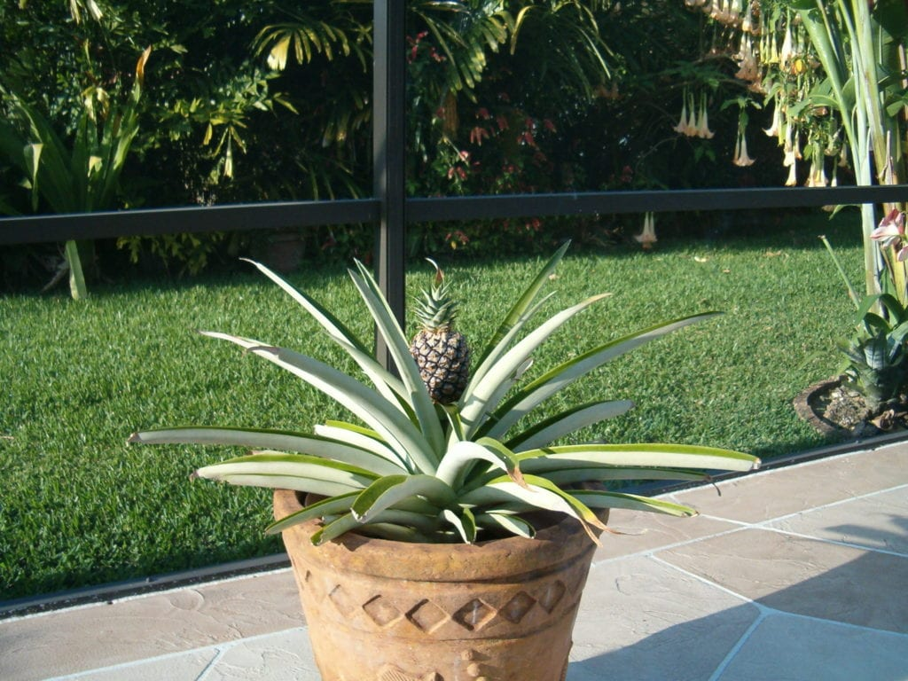 regrow pineapples