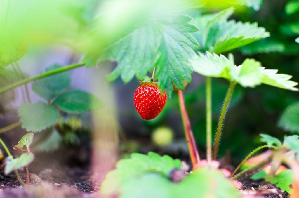 growing strawberry from seed
