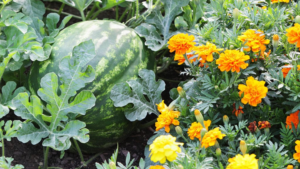 12 Best Herbs and Flowers for Companion Planting With ...