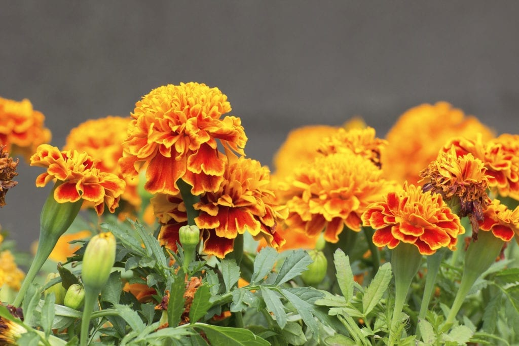 flowers to plant with vegetables