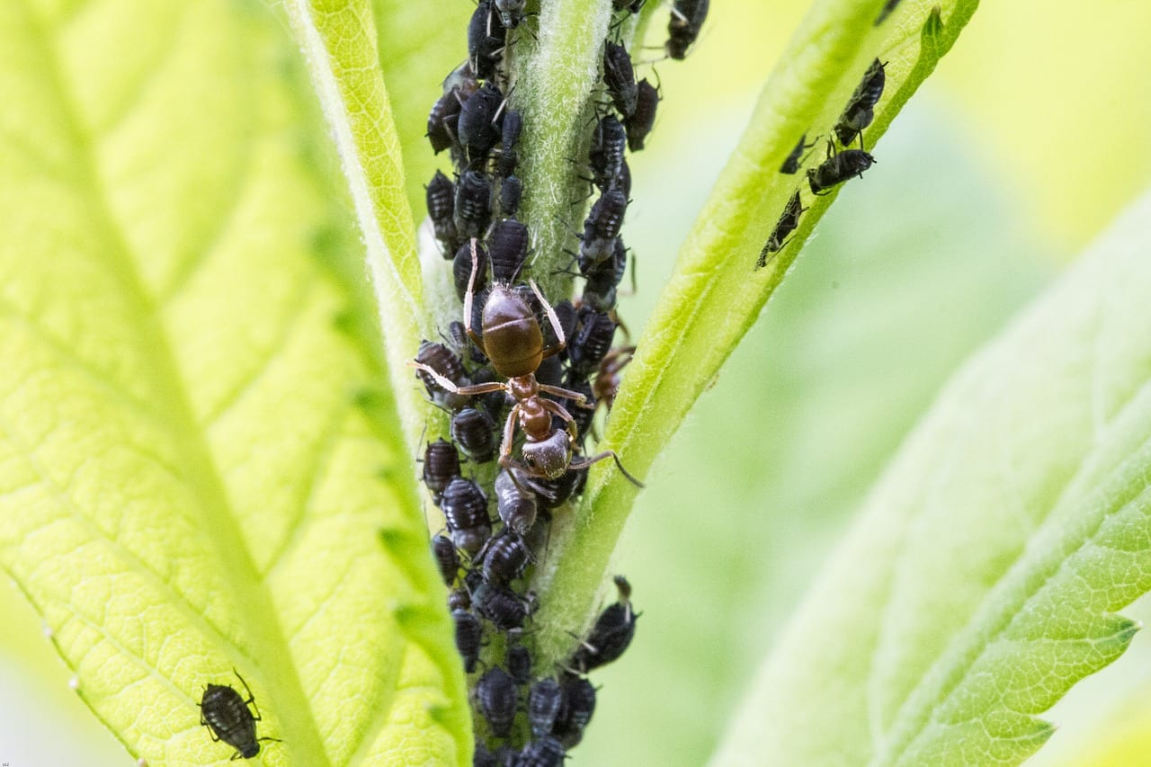 How to Control Aphids Naturally