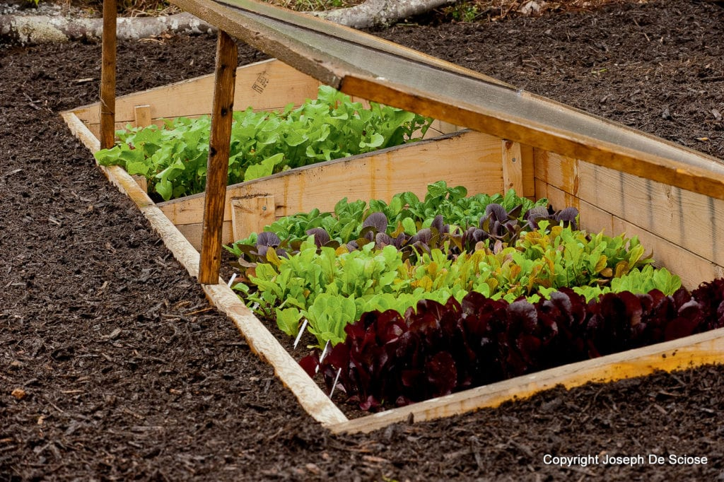 fall vegetable garden, fill coldframe