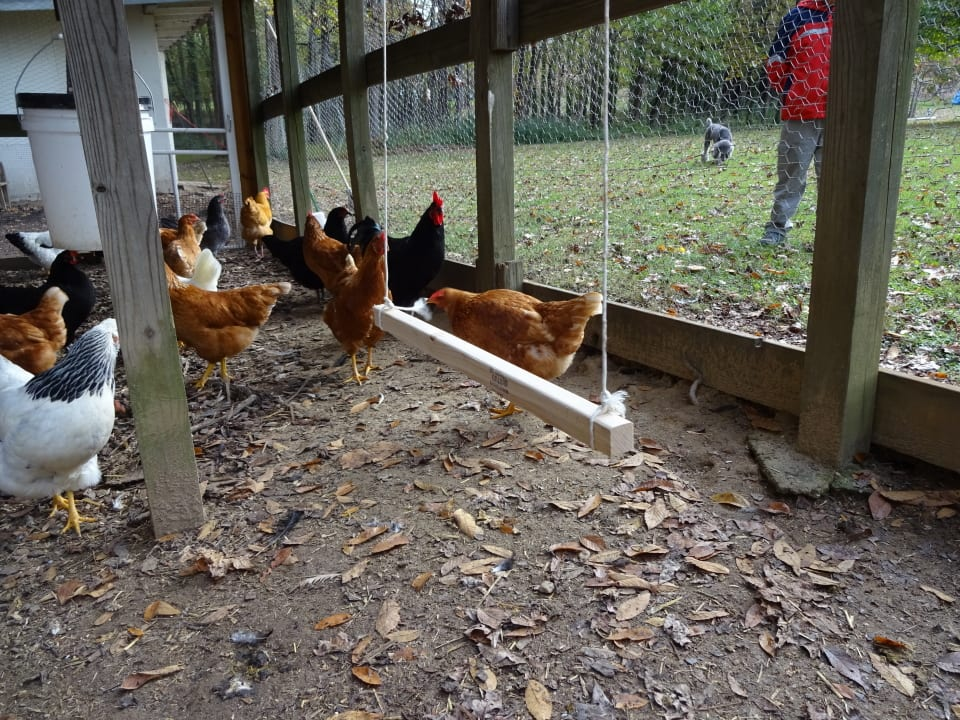 chicken playground, chicken entertainment, winter chicken care