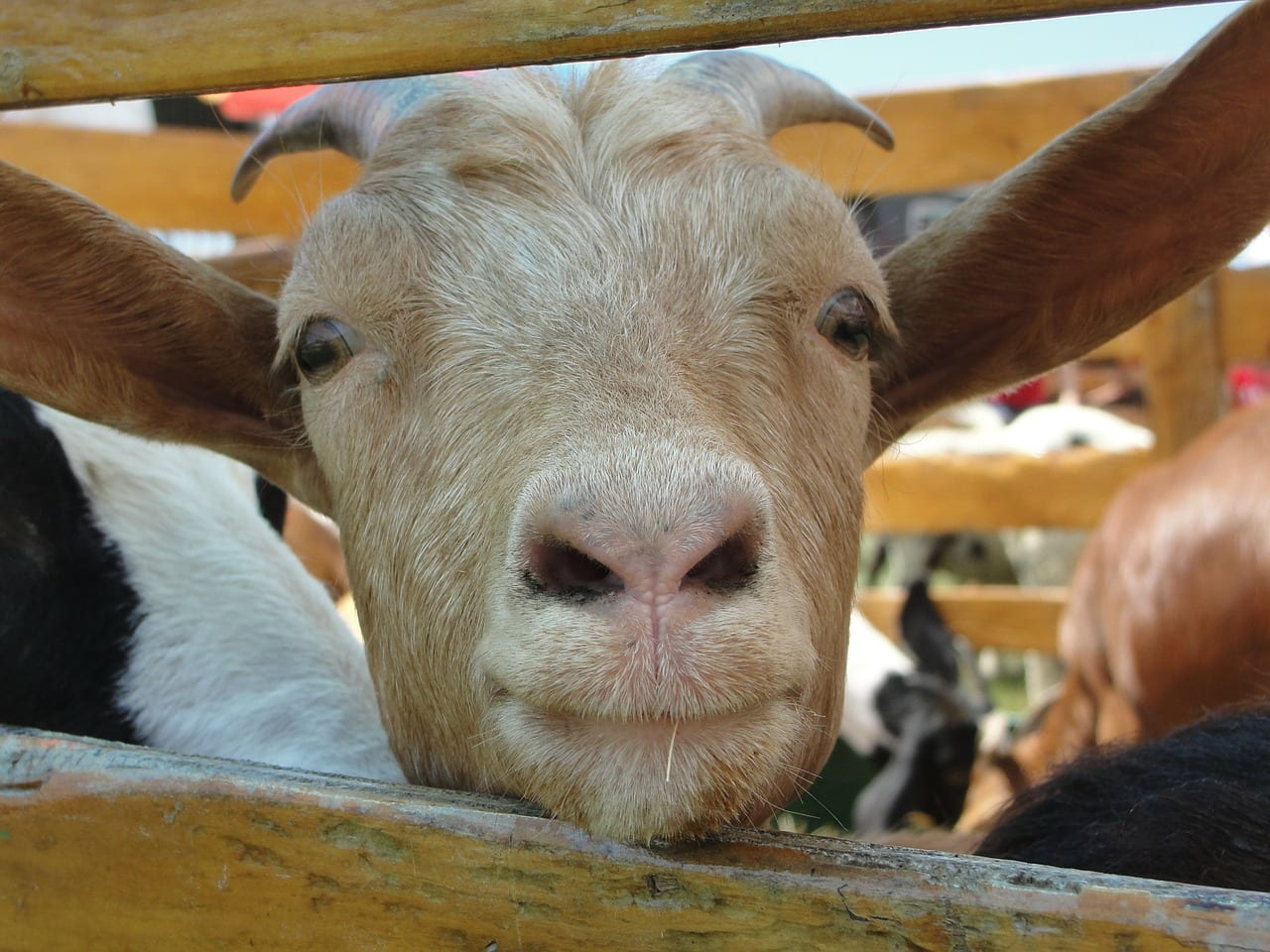Key Benefits of Goat Milk – and the science behind it.