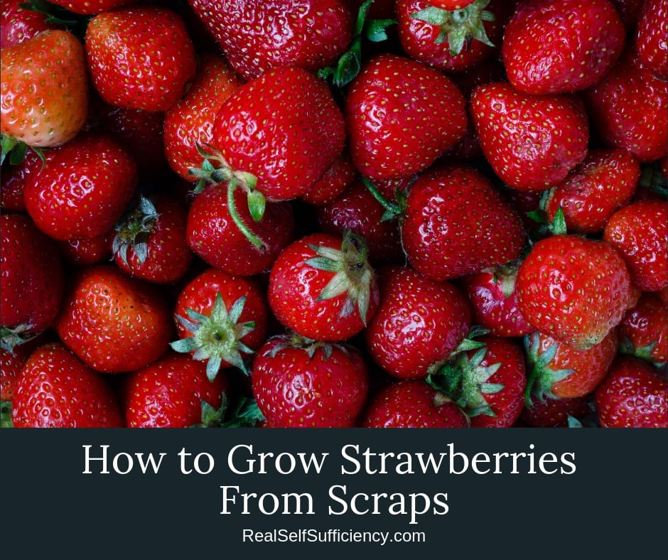 How to Grow Strawberries From Scraps