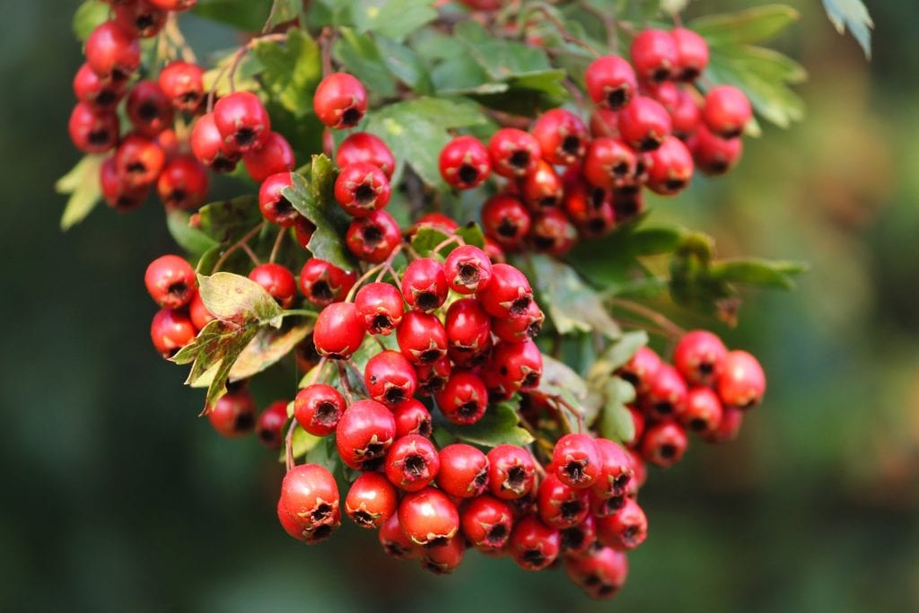 How to Make Hawthorn Tincture With or Without Alcohol