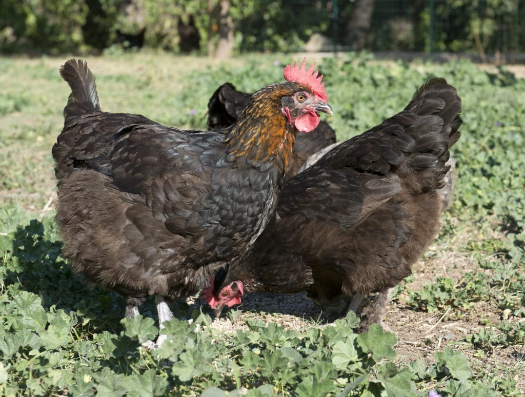 maran chicken - best chickens for eggs
