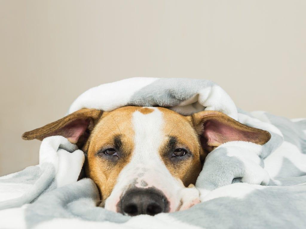 sad itchy dog