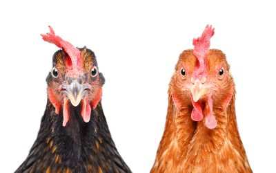 10 Best Chicken Breeds for Eggs – With FREE Printable Breed Chart!