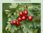 How to harvest hawthorn