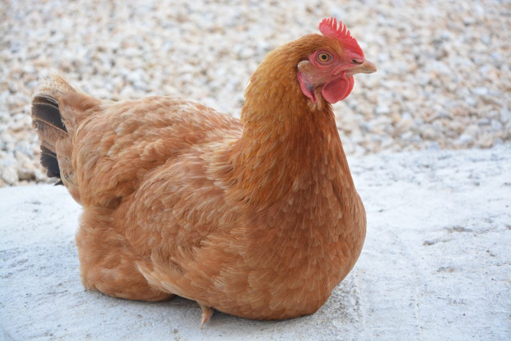 golden comet best egg laying breed