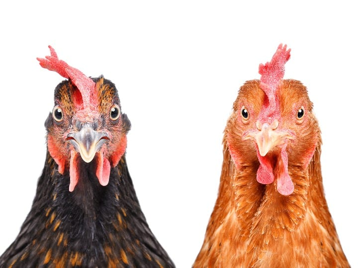 Chicken breeds for eggs