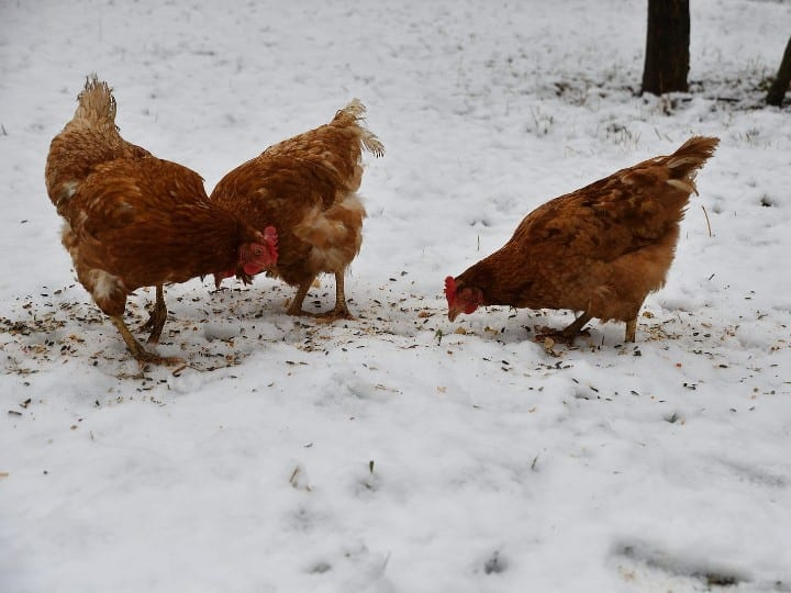chickens in winter