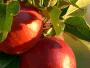 76 Apple Recipes