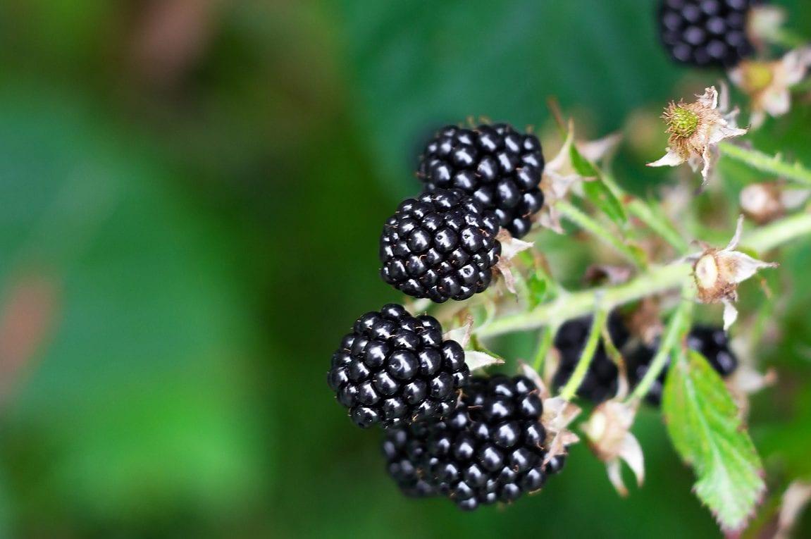foraging blackberries for blackberry jam