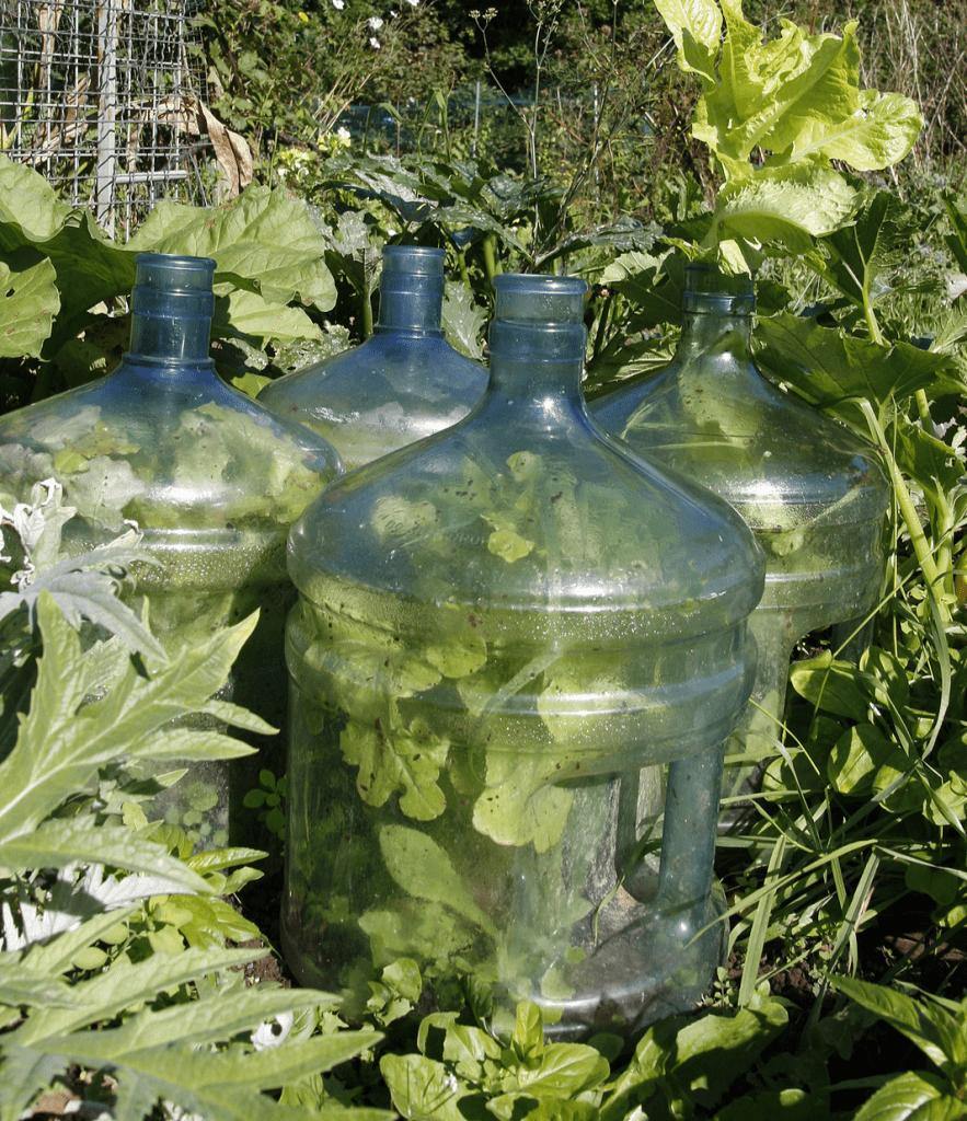 big bottle cloche for plants